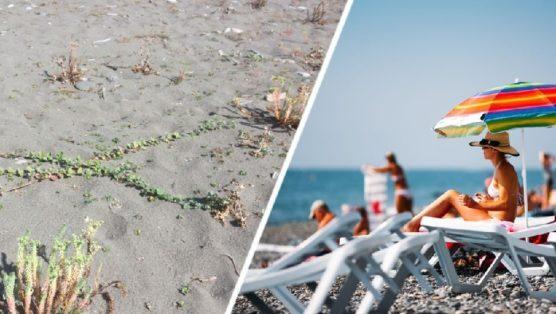 На пляжах Сочи началось нашествие ядовитого сорняка