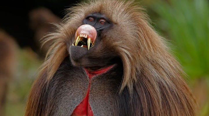 В Африке появился вирус, передающийся от обезьяны туристу